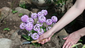 Female hands raise the earth around the blossoming decorative onions with garden ripper stock footage