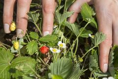 Female hands show red ripe wild strawberry fruits. Next to the same bush grow green fruits and wild strawberries. stock photos