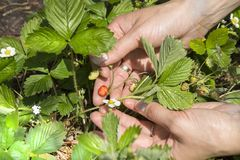 Female hands show red ripe wild strawberry fruits. Next to the same bush grow green fruits and wild strawberries. Female hands show red ripe wild strawberry stock photos