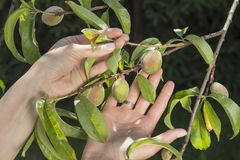 Female hands show young unripe peach fruits growing on a tree suffering from the curl of leaves. Female hands show young unripe peach fruits growing on a tree royalty free stock photo