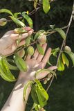 Female hands show young unripe peach fruits growing on a tree suffering from the curl of leaves. Female hands show young unripe peach fruits growing on a tree royalty free stock image