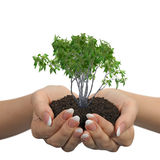 Female hands with soil and a plant Royalty Free Stock Images