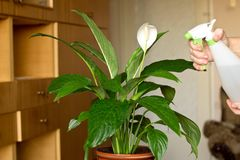 Female hands spraying indoor flower royalty free stock photography