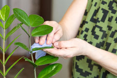 Female hands taking care of plants at her home, wiping the dust from flower`s leaves Stock Image