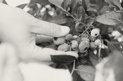 Female hands tear blue berries of blueberries from a bush. Stock Photo