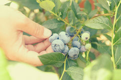 Female hands tear blue berries of blueberries from a bush. Stock Photos