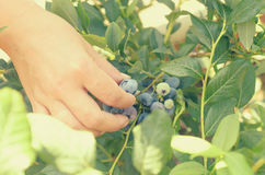 Female hands tear blue berries of blueberries from a bush. Royalty Free Stock Image