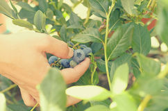 Female hands tear blue berries of blueberries from a bush. Royalty Free Stock Images