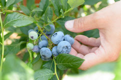 Female hands tear blue berries of blueberries from a bush. Stock Image