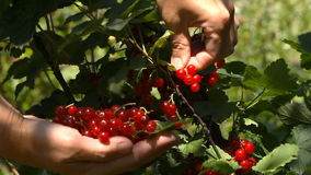 Female hands tear red currant berries stock video