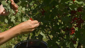 Female hands tear red currant berries stock video footage