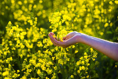 Female hands touching rape flowers.touch with nature,female hand Stock Image