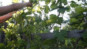 Female hands tying grape branches in bright sunshine stock video footage