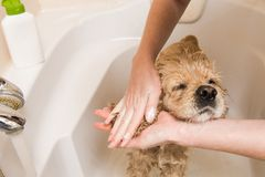 Female hands washing dog ears. Female groomer hands holding shower sprayer and washing dog ears Royalty Free Stock Image