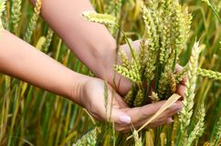 Female hands with wheat ears on a wheaten field Stock Photo