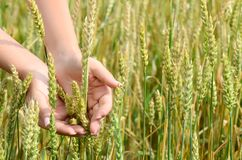 Female hands with wheat ears on a wheaten field Royalty Free Stock Photos
