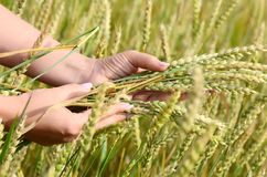 Female hands with wheat ears on a wheaten field Royalty Free Stock Image