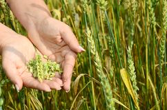 Female hands with wheat ears on a wheaten field Stock Photos