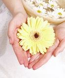Female hands and yellow gerber Stock Photography