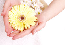 Female hands and yellow gerber Royalty Free Stock Photo