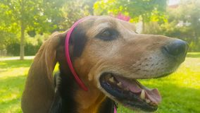 Female happy hunt dog wearing a rigid band with a flower. stock video footage
