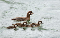 Female harlequin duck. And chickens Stock Image