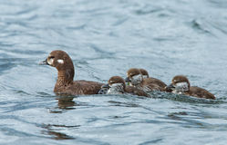 Female harlequin duck. And chickens Royalty Free Stock Photo