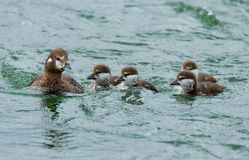 Female harlequin duck. And chickens Stock Photos
