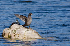 Female Harlequin duck stretching Royalty Free Stock Images
