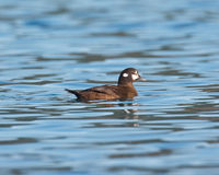 Female Harlequin Duck Royalty Free Stock Photo