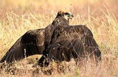 Female harrier eagle on the floor Stock Images