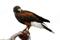 Female Harris Hawk Stock Images