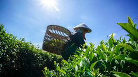 The female havesting the tea under sunlight in BaoLoc, they using them hans Royalty Free Stock Photography