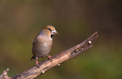 Female Hawfinch on branch Royalty Free Stock Images