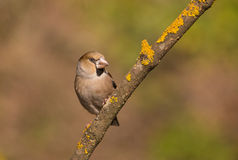 Female Hawfinch on branch with lichen Royalty Free Stock Image