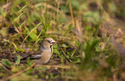 Female Hawfinch in the grass Royalty Free Stock Photography