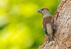A female Hawfinch Stock Images