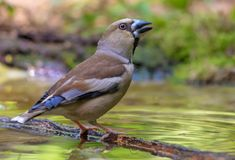 Female Hawfinch sits on small stick immersed in water royalty free stock image