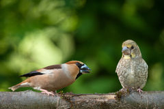 Female hawfinch from young. Poland in June.Female hawfinch from young.She is teaching him how to get food Stock Images