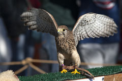Female hawk kestrel. Female kestrel falcon: the place of origin, West Asia, Europe, North Africa Stock Image