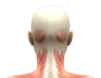 Female Head Muscles Anatomy - Back view Stock Photos