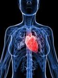 Female heart Stock Photos