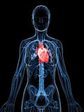 Female heart Stock Images
