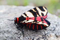 Female of Hebe Tiger Moth (Arctia festiva) Royalty Free Stock Photos