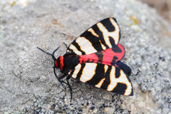 Female of Hebe Tiger Moth (Arctia festiva) Stock Photography