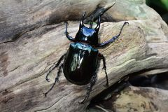 Female Hercules beetle aka rhino beetle on a log looking for a mate in it`s environment. royalty free stock photo