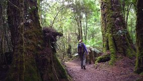 Female hiker admires the forest in tarkine rainforest on the west coast of tasmania stock video