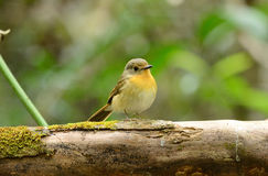 Female hill blue flycatcher Stock Photography