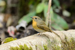 Female hill blue flycatcher Stock Photo