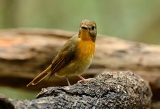 Female hill blue flycatcher Royalty Free Stock Photos